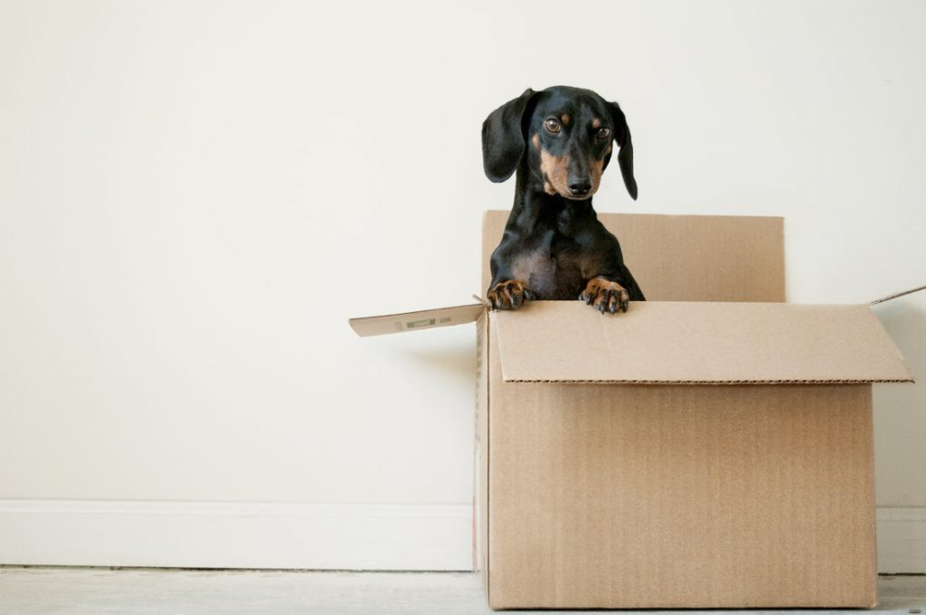 Dog in a cardboard box when moving home